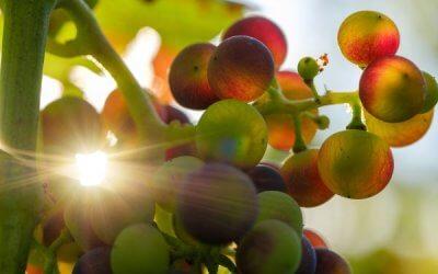 Impact du réchauffement climatique sur le vin : faut-il être inquiet ?