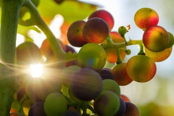 Impact du réchauffement climatique sur le vin